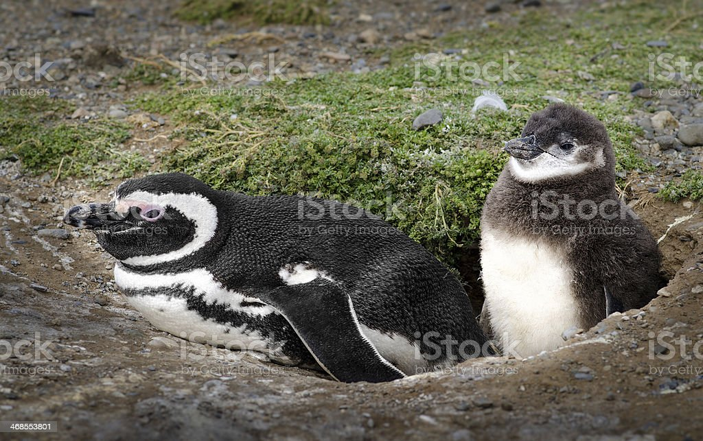 Adorable penguins (adult and baby) at home. High definition image. stock photo