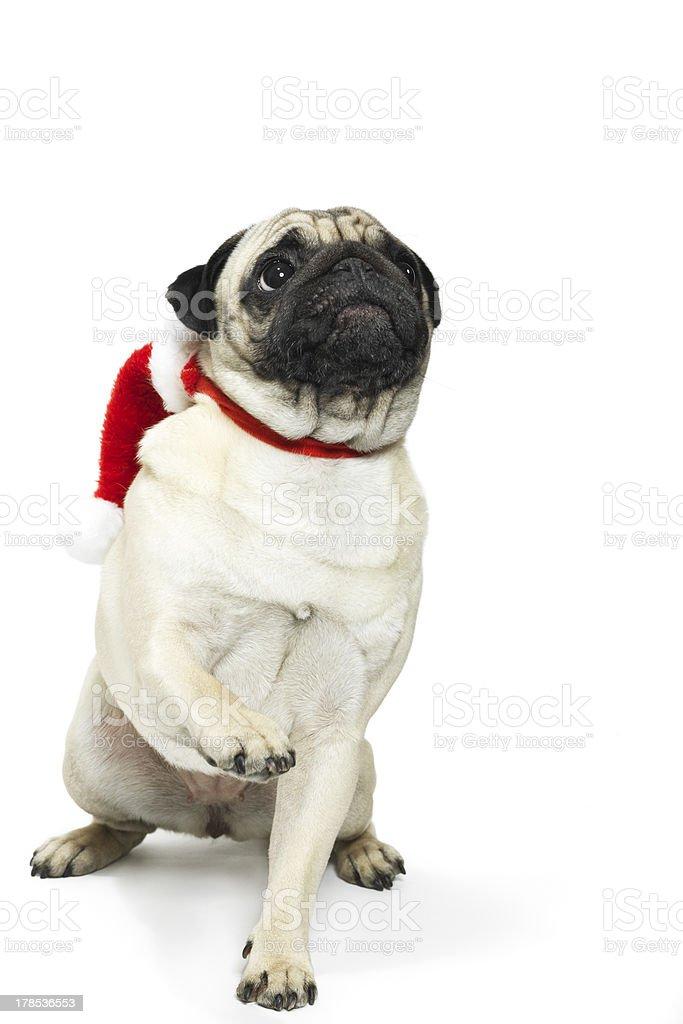 Adorable pug in a Christmas Santa hat stock photo