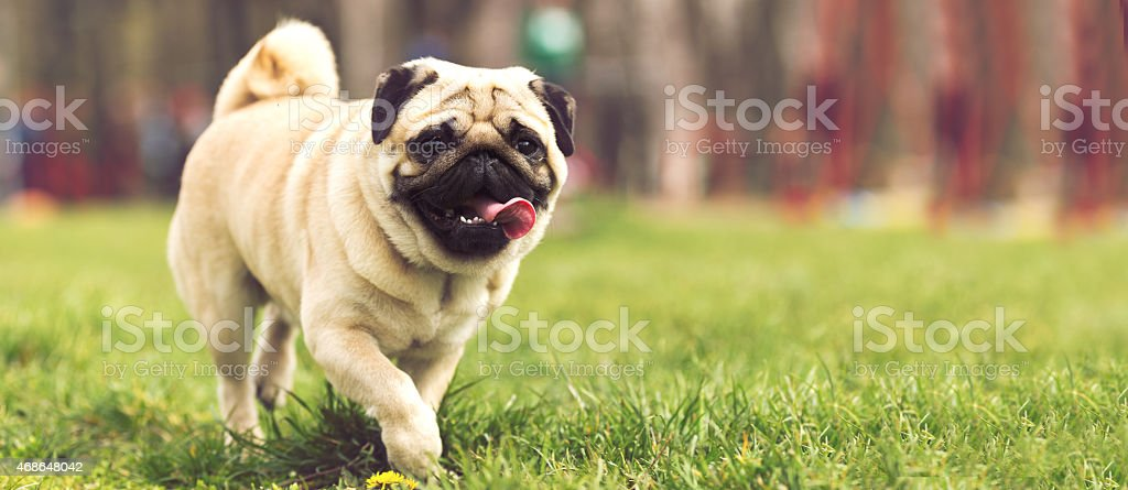 Adorable pug puppy dog in park stock photo