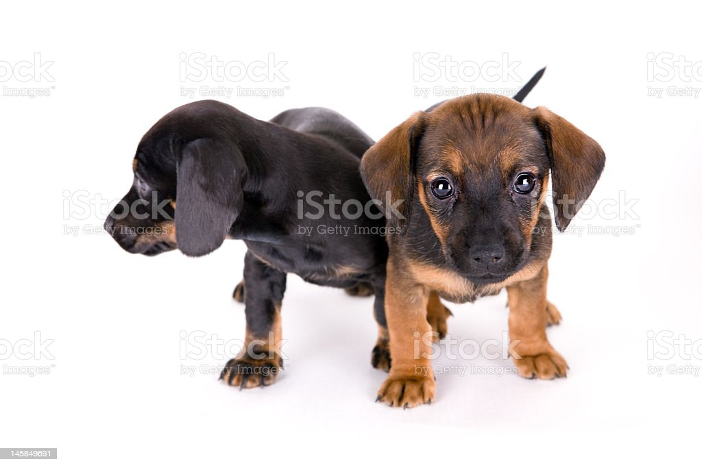 Adorable Puppies royalty-free stock photo