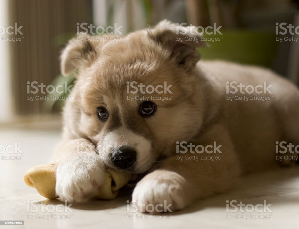 adorable puppy chewing his bone royalty-free stock photo