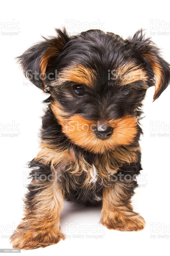 Adorable Puppy Dog royalty-free stock photo