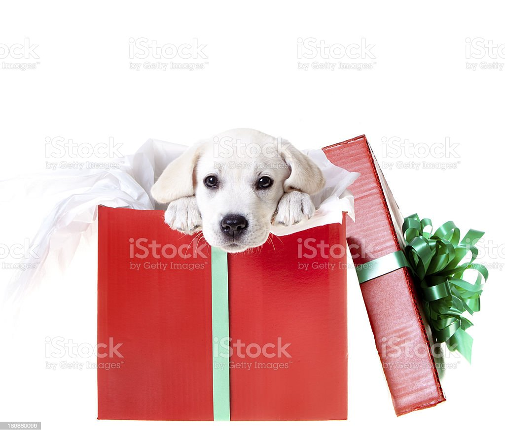 Adorable Puppy in a Christmas Box royalty-free stock photo