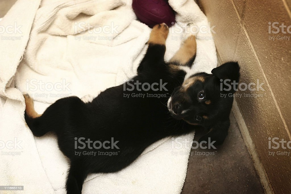 Adorable Puppy royalty-free stock photo