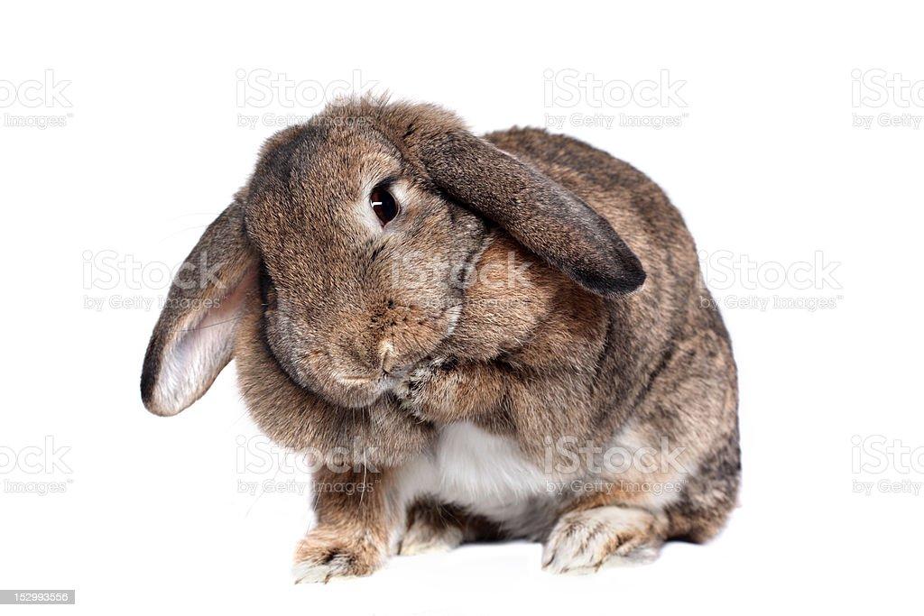 Adorable rabbit isolated on white royalty-free stock photo