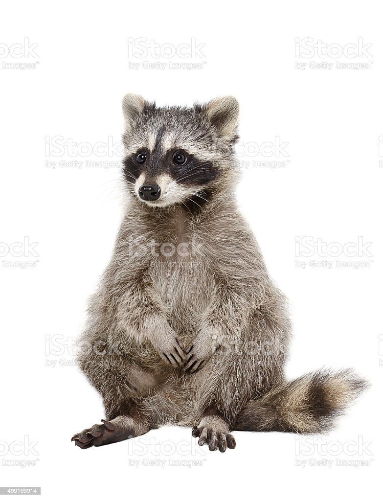 Adorable raccoon stock photo