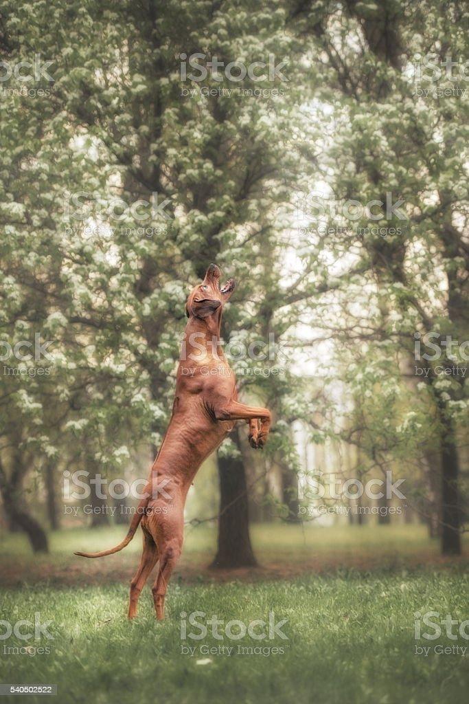 adorable rhodesian ridgeback dog outdoors stock photo