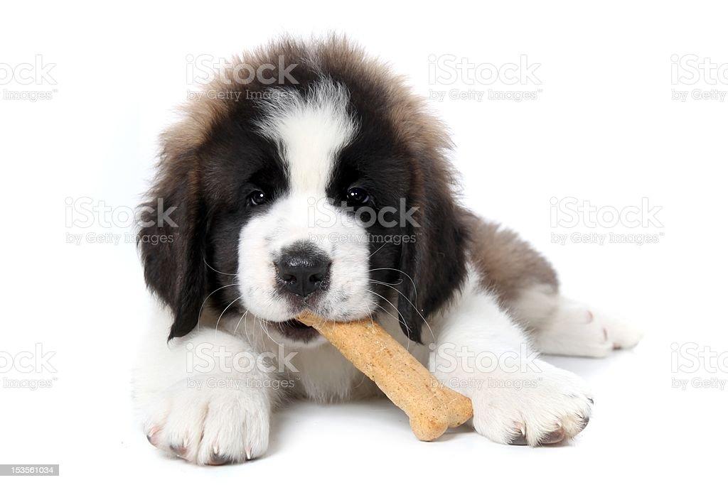 Adorable Saint Bernard Puppy Chewing on a Dog Bone Treat stock photo