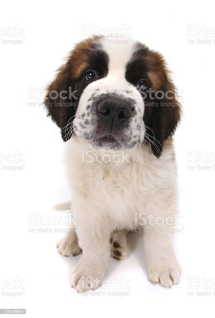Adorable Saint Bernard Puppy Sitting stock photo