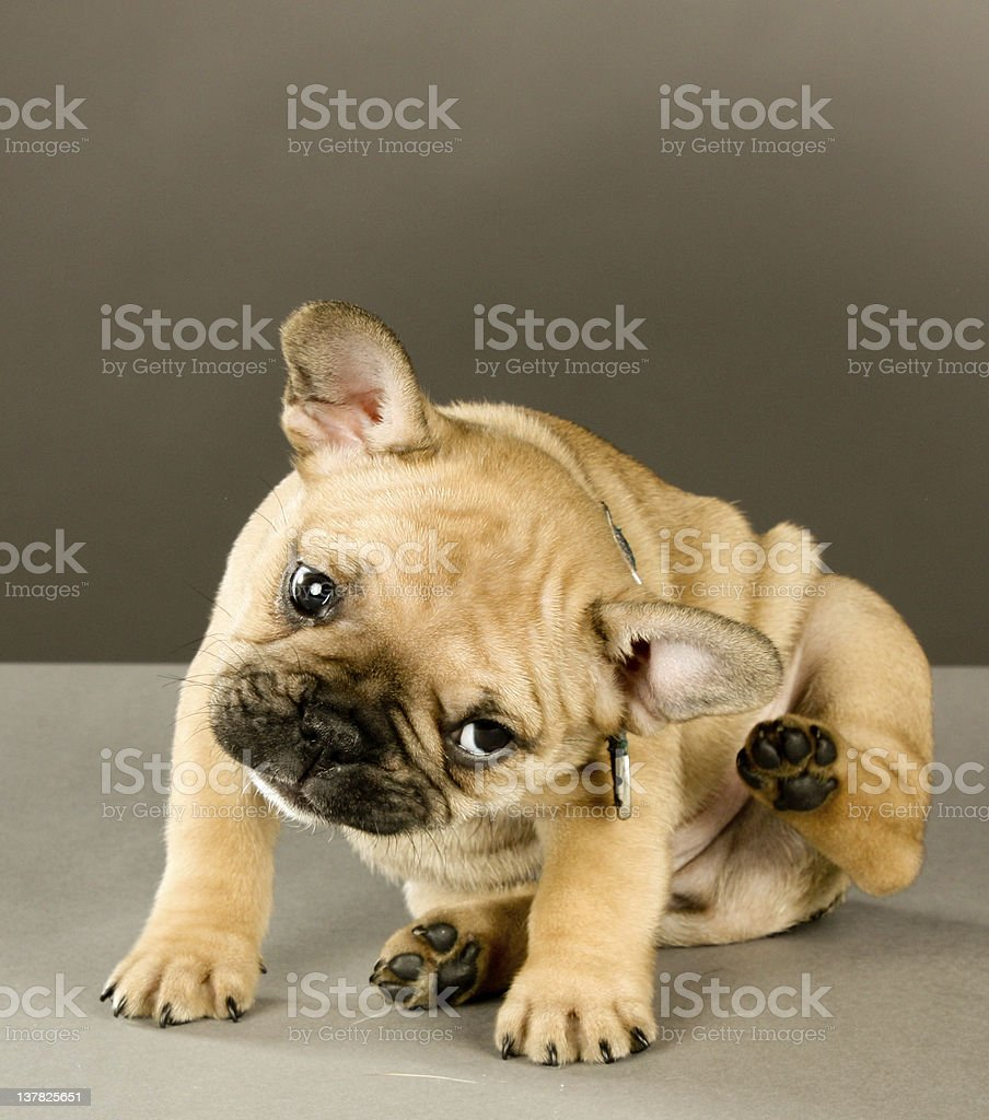 Adorable Scratching Puppy stock photo