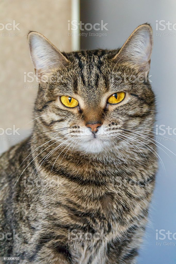 Adorable serious cat looking at camera stock photo