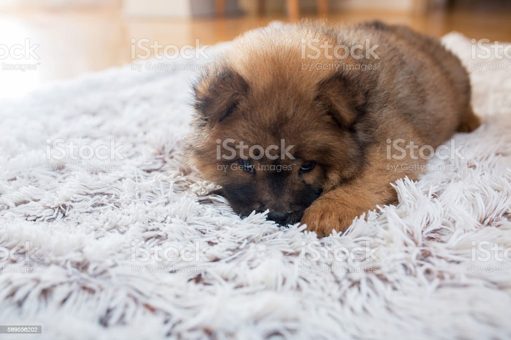 Adorable shy puppy lying on the carpet. stock photo