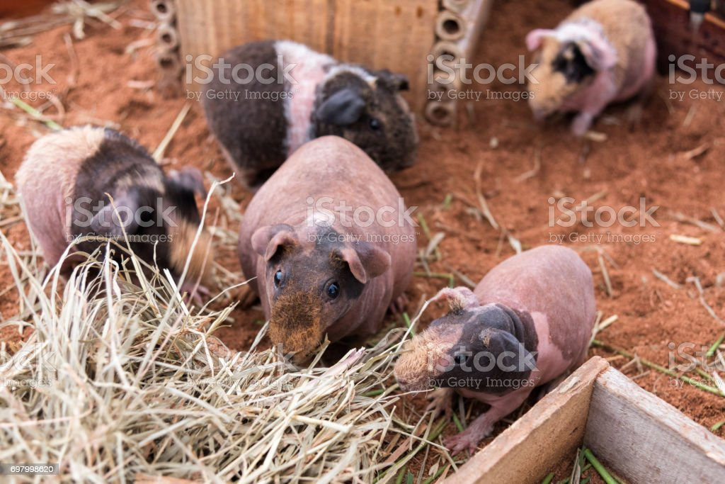 Adorable skinny pig or hairless guinea pig family are eating dry grass. stock photo