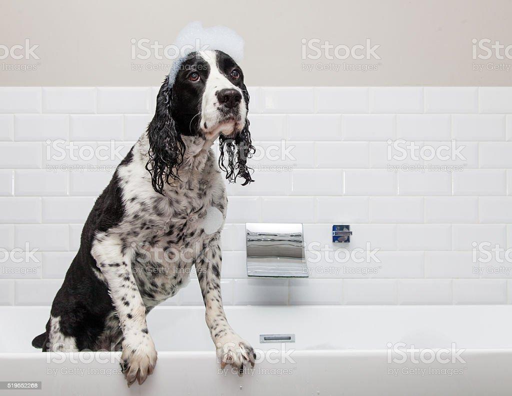 Adorable Springer Spaniel Dog in Tub stock photo