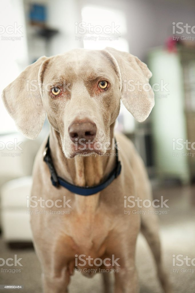 Adorable Weimaraner Dog Looking At Camera stock photo