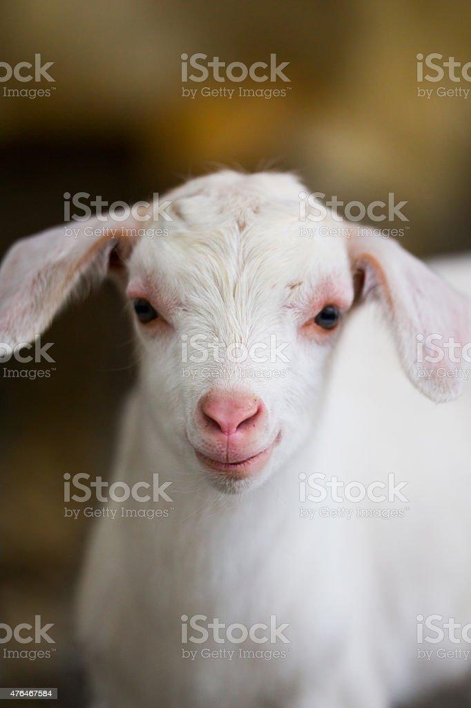 Adorable white kid goat stock photo