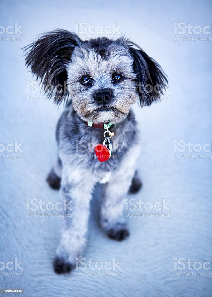 Adorable Yorkiepoo Puppy Pet Portrait stock photo