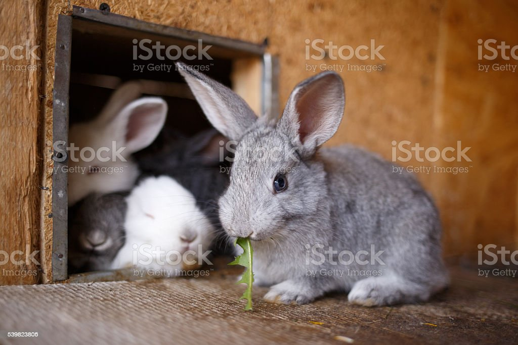 Adorable young bunny in a big wood cage at farm stock photo