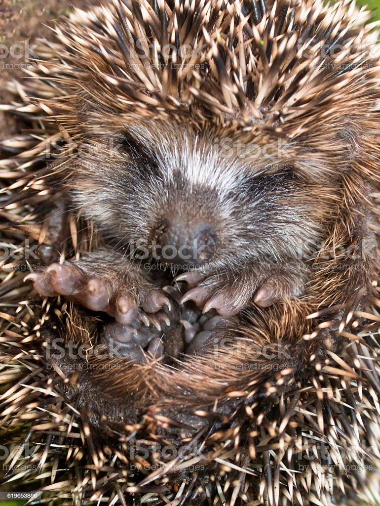 Adorable Young Hedgehog stock photo