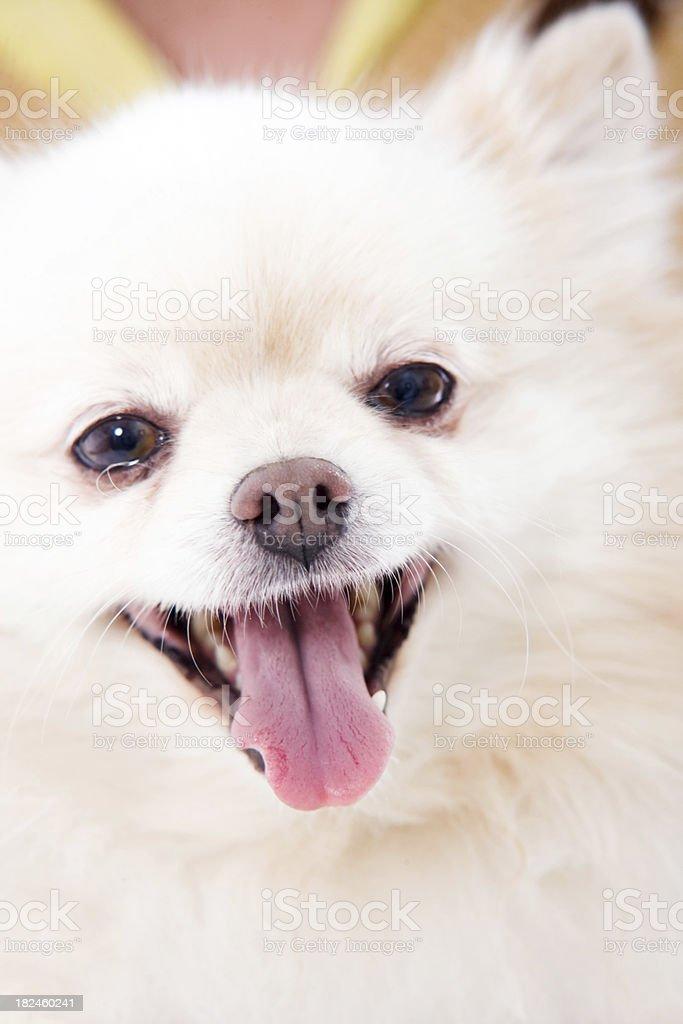 Adoreable dog - Pomeranian up close royalty-free stock photo