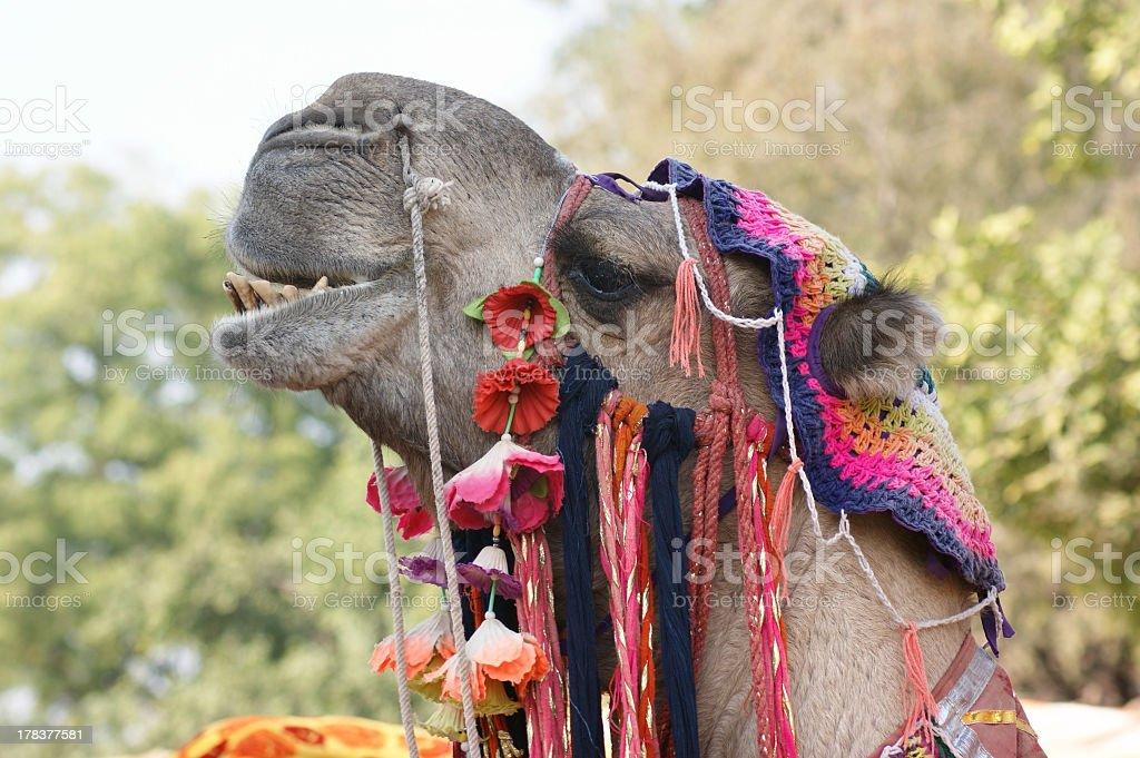 adorned camel portrait stock photo
