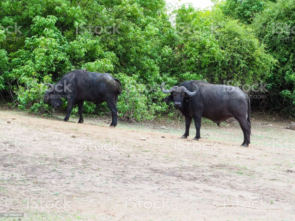Adult African buffalo group finding for food in their habitat stock photo