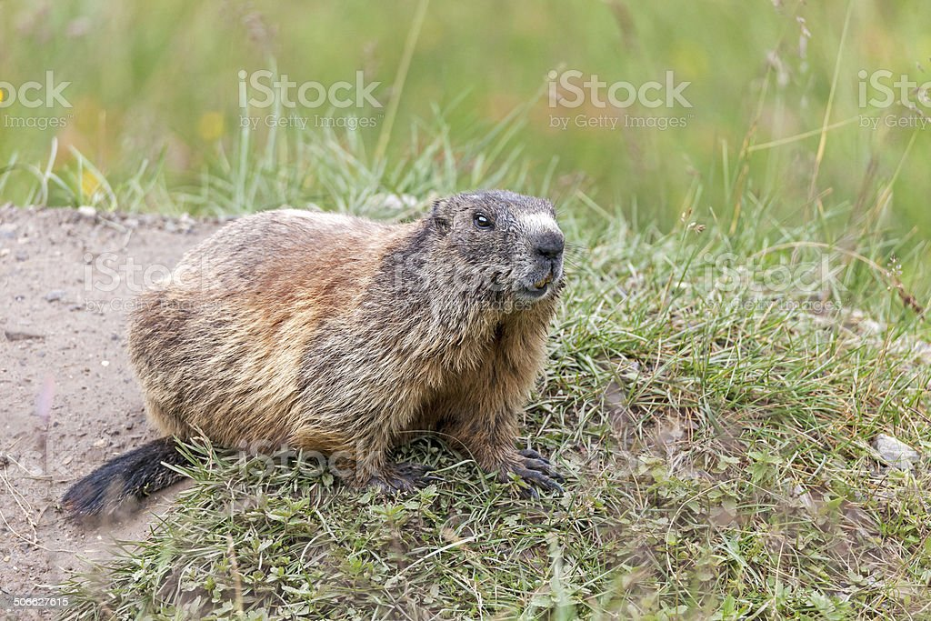 Adult Alpine marmot stock photo