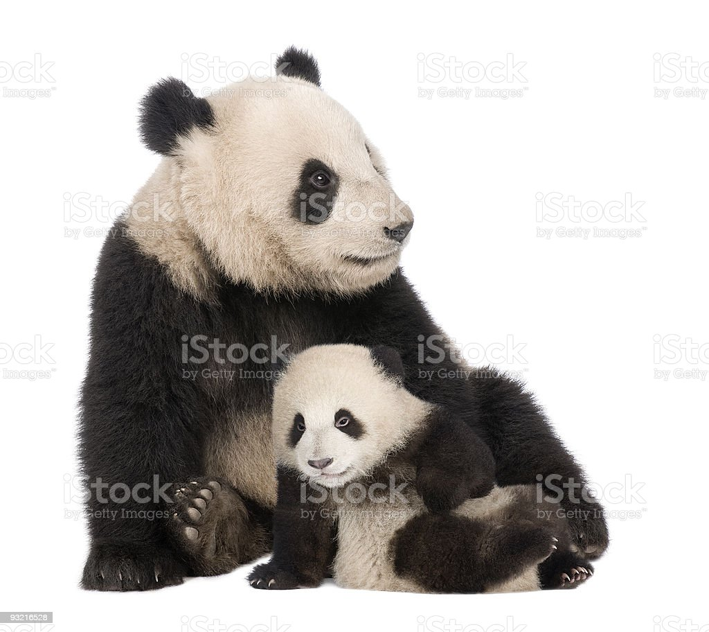 Adult and an 18 month Ailuropoda melanoleuca Giant Panda stock photo