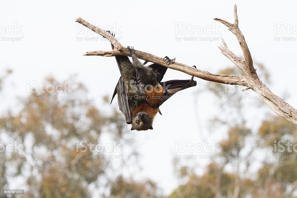 Adult and Baby Flying Fox stock photo