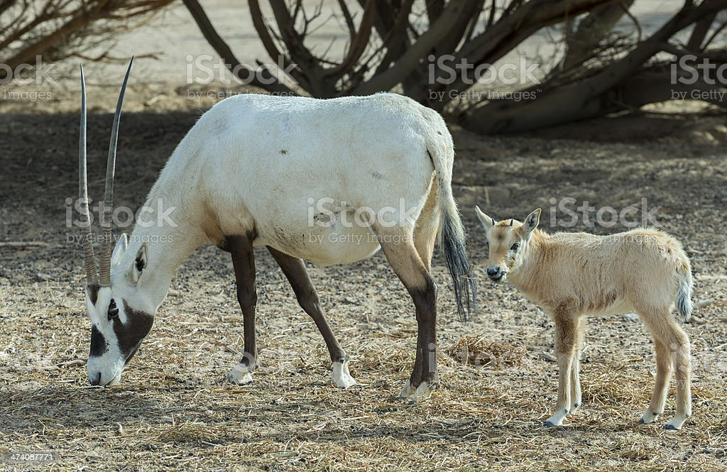 Adult and baby Oryx in Israeli nature reserve near Eilat stock photo