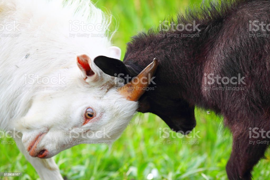 Adult and young goats fighting with their heads stock photo