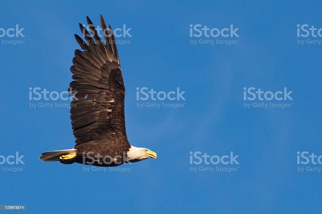 Adult bald eagle soaring royalty-free stock photo