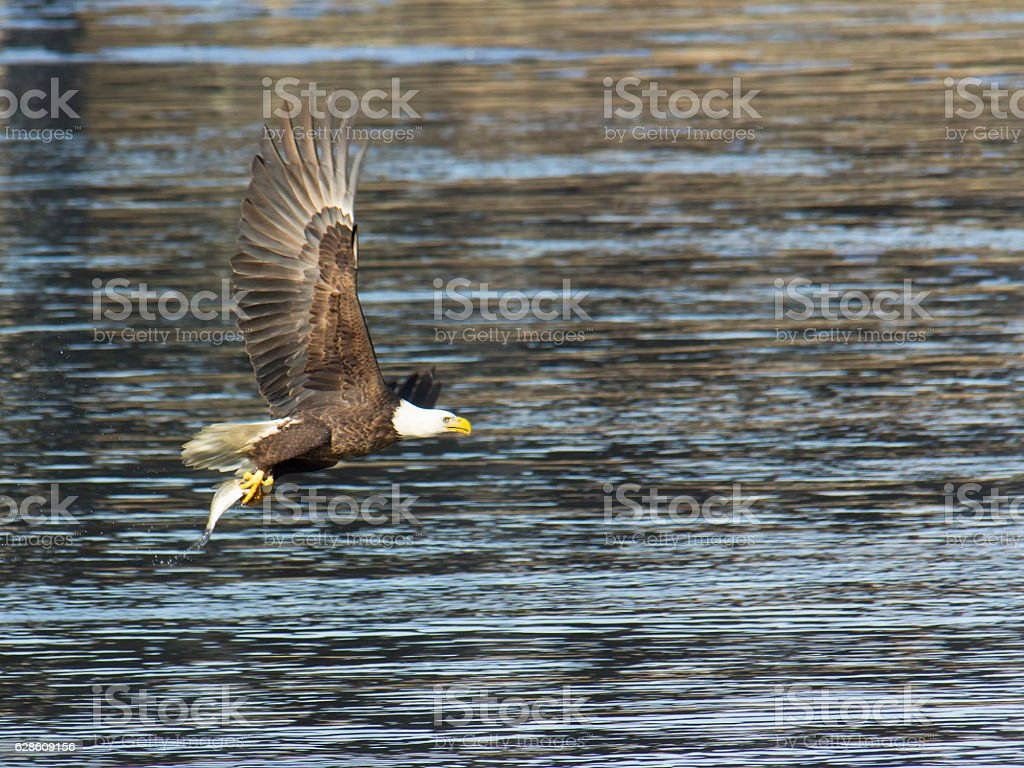 Adult bald eagle with fish stock photo