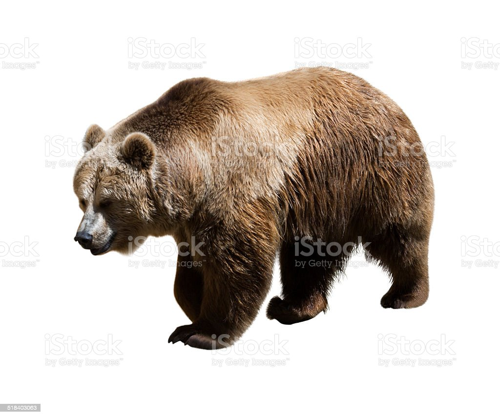 Adult bear. Isolated stock photo