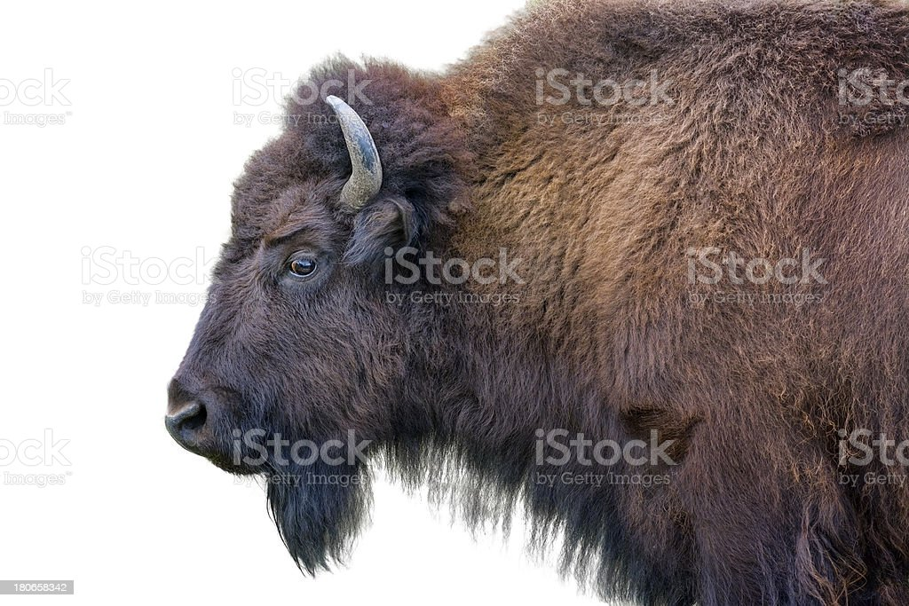 Adult Bison Isolated on White stock photo