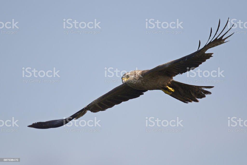 Adult Black Kite in flight on a blue sky. stock photo