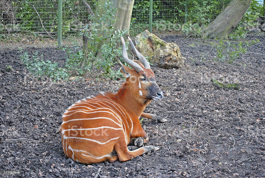 adult bonga in an enclosure stock photo