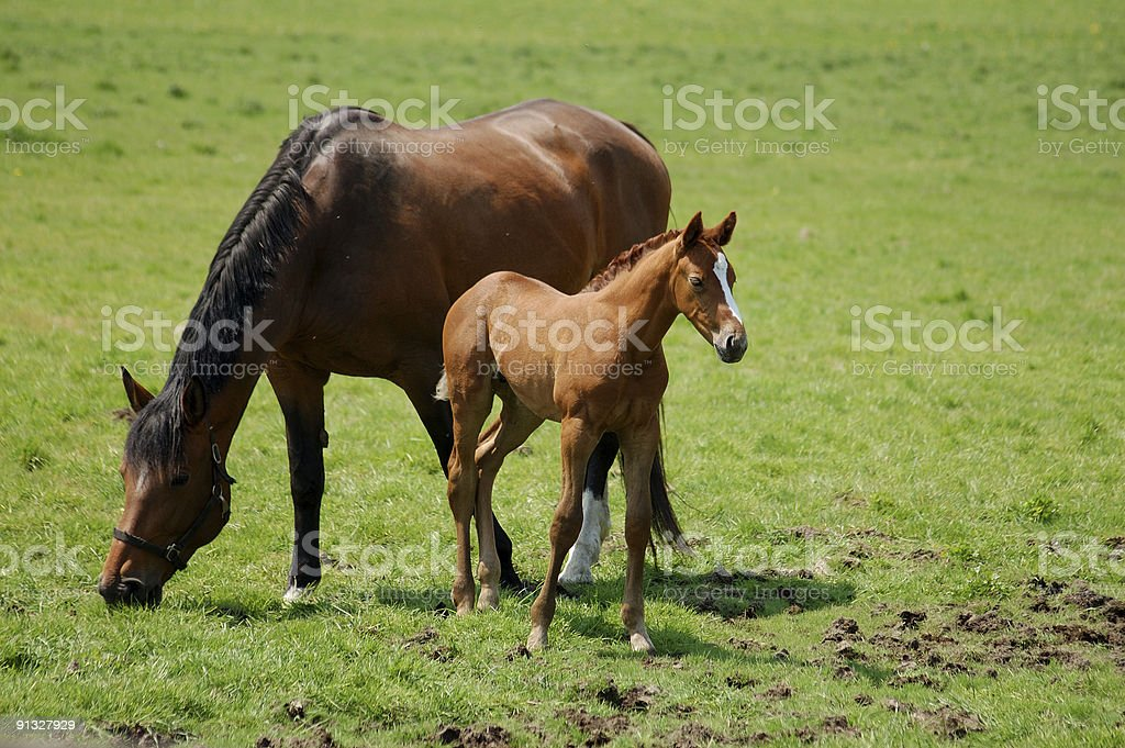 Adult brown horse and a foal grazing in a large green field stock photo