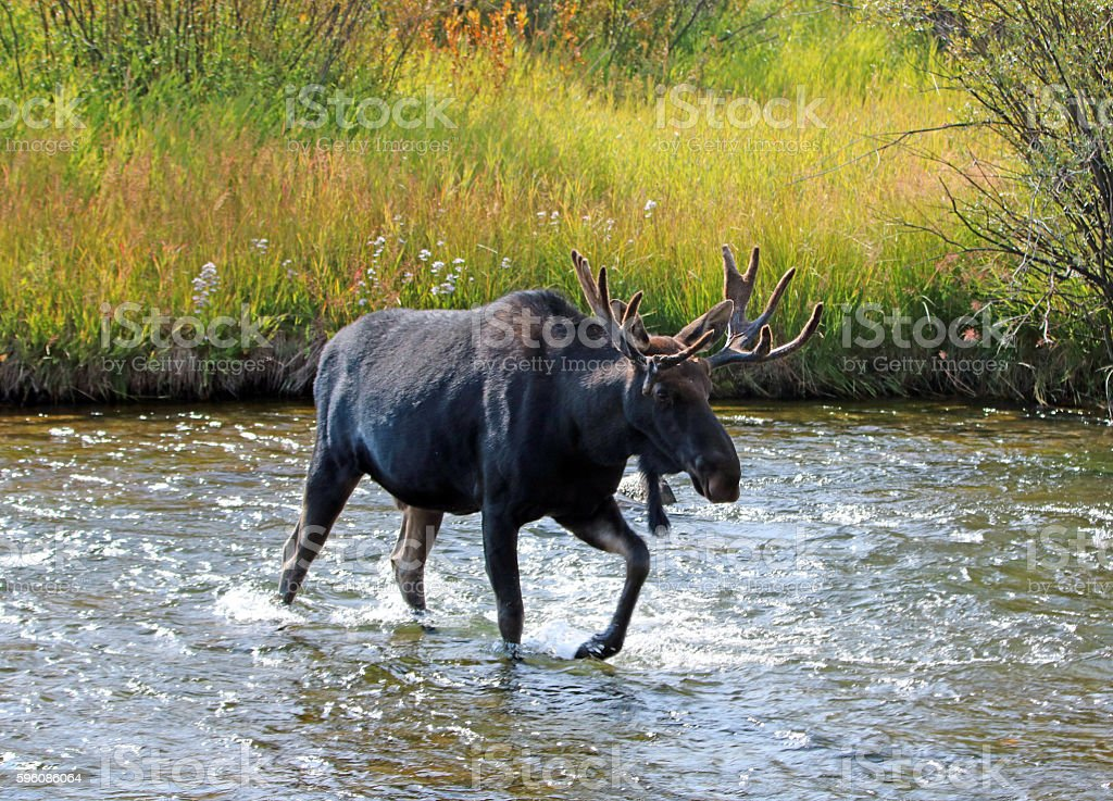 Adult Bull moose with shedding velvet antlers crossing Fish Creek stock photo