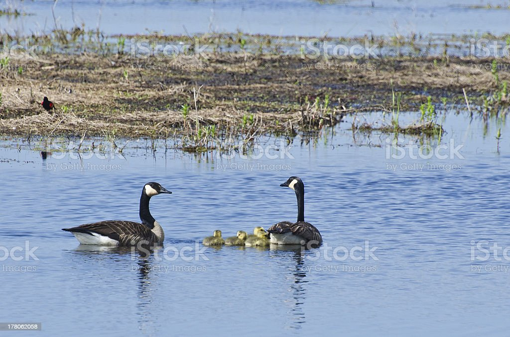 Adult Canada Geese Swimming With Their Goslings royalty-free stock photo