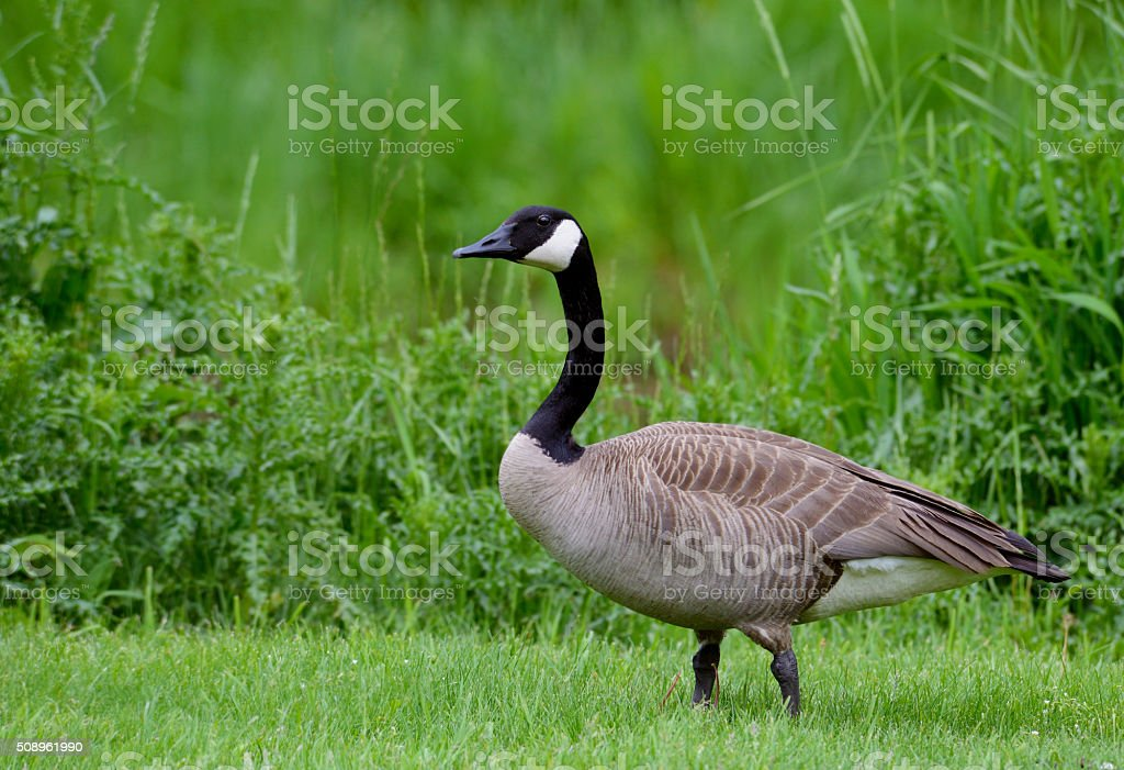 Adult Canada Goose in green grass. stock photo