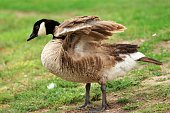 Adult Canada goose on a grass
