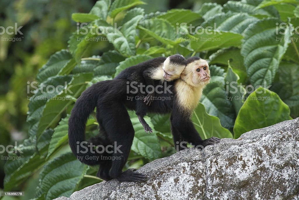 Adult Capuchin Monkey Carrying Baby on its Back stock photo