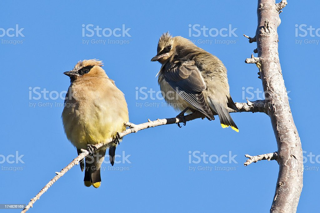 Adult Cedar Waxwing With Juvenile royalty-free stock photo