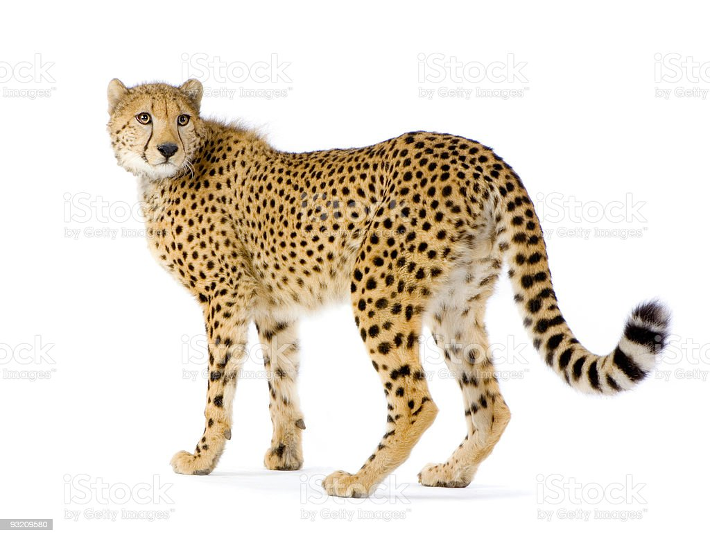 Adult cheetah looking back on a white background stock photo