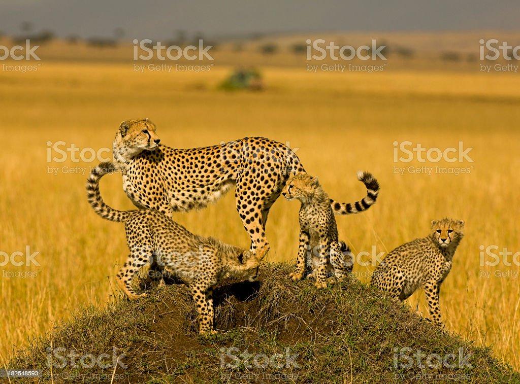 Adult Cheetah (Acinonyx jubatus) with three cubs on termite mound stock photo
