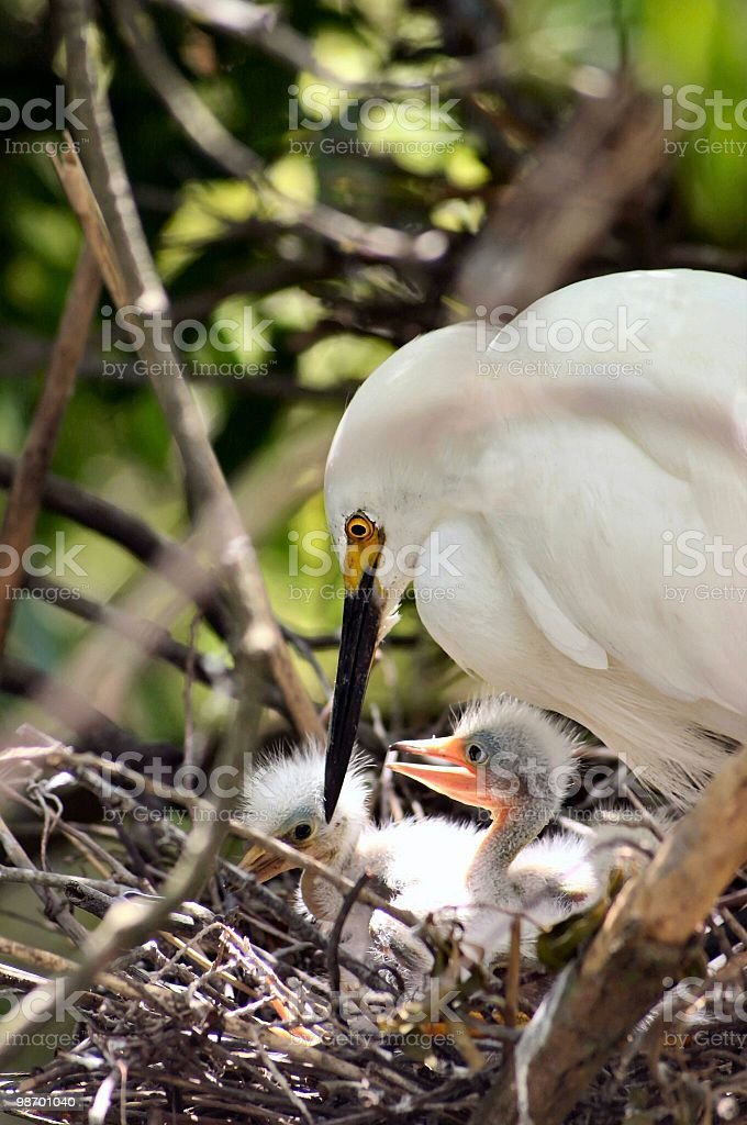 adult egret with baby chicks royalty-free stock photo