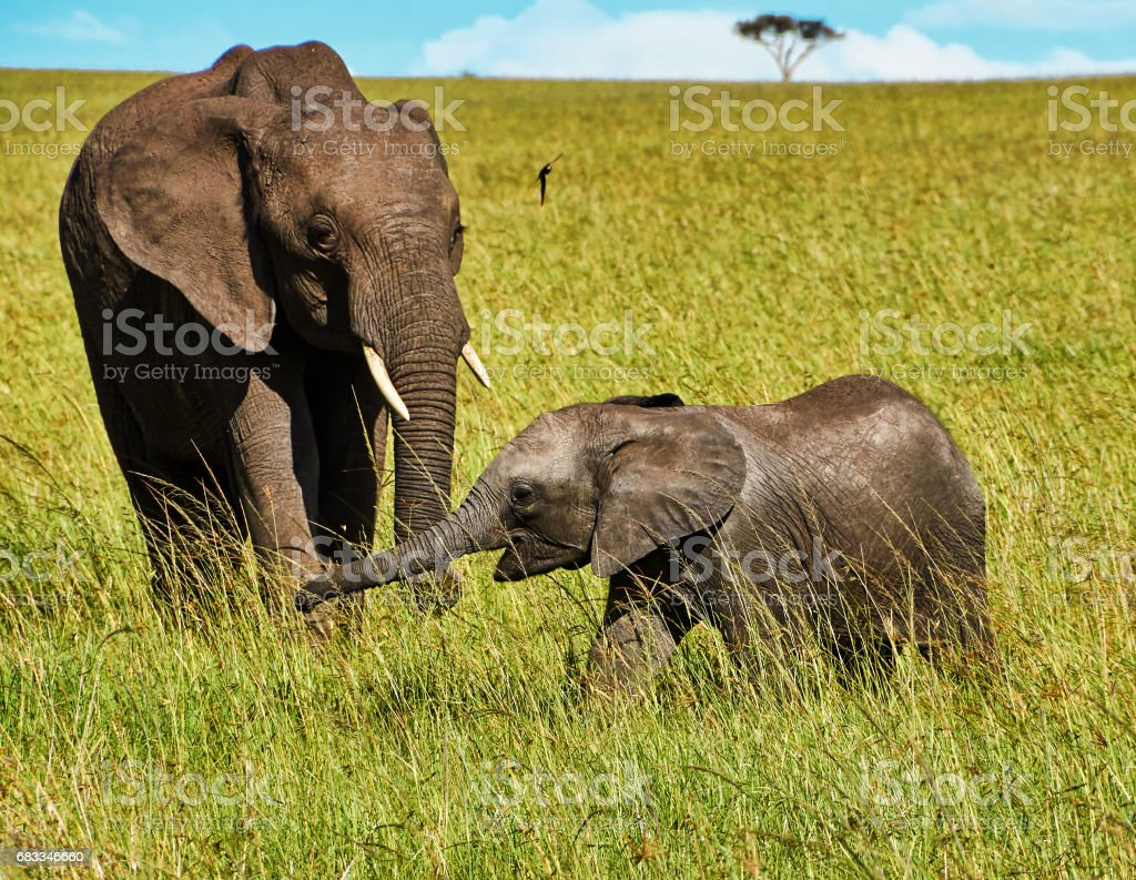 Adult elephant with the baby elephant  walking in the african  savannah stock photo