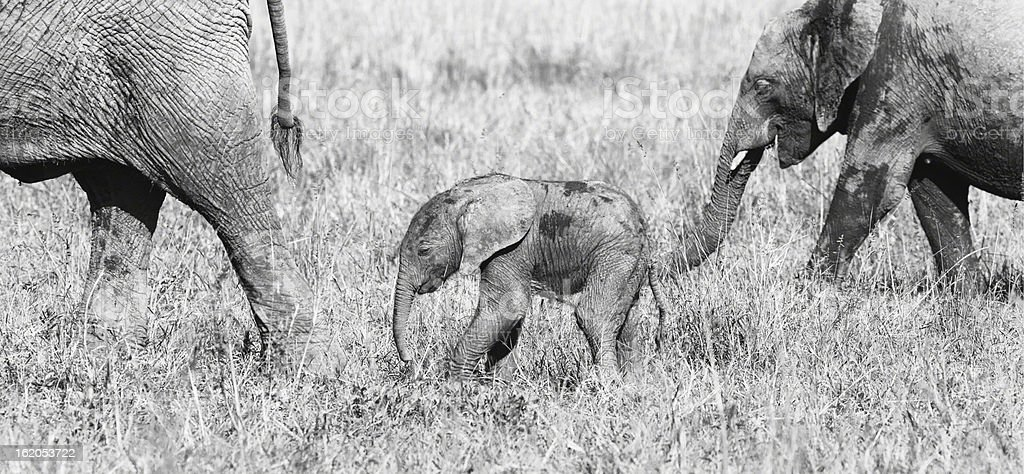 Adult elephants and baby, Kenya  Safari -Maasai Mara royalty-free stock photo