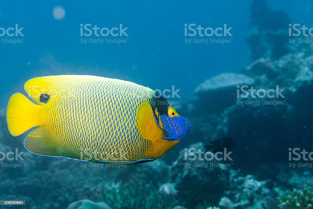 Adult Emperor angel fish  portrait close up in maldives stock photo